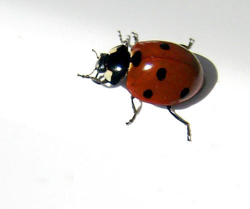 Ladybug on a rail