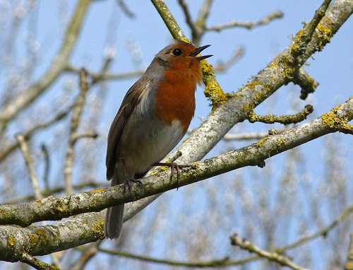 12140 - Robin singing