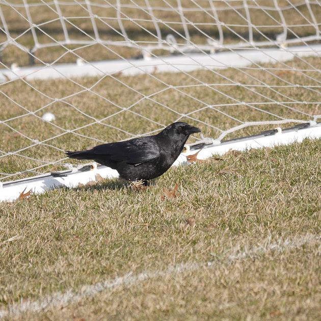 Ed Gaillard: birds &emdash; American Crow, Van Cortlandt Park