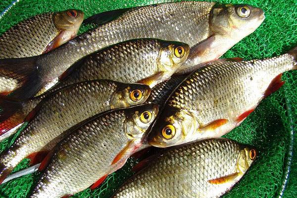Ловля плотвы в июле, рыбалка на плотву в июле, где ловить плотву, когда ловить плотву, насадки для ловли плотвы, прикормка для ловли плотвы