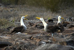 Waved Albatross mating dance - Galapagos (Sweet Spot Focus)