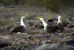 Waved Albatross mating dance - Galapagos (Sweet Spot Focus)