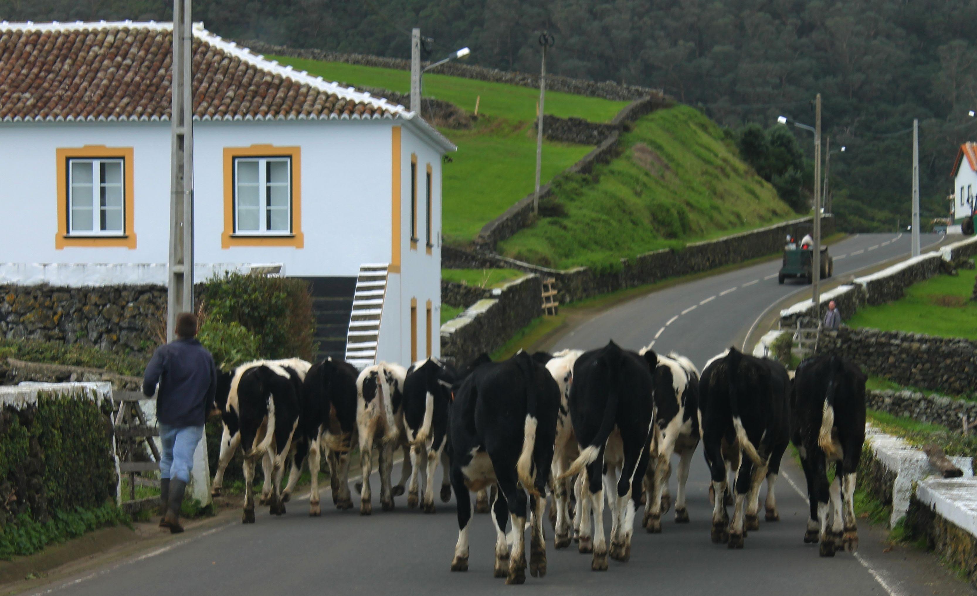 12. Cows a Walking