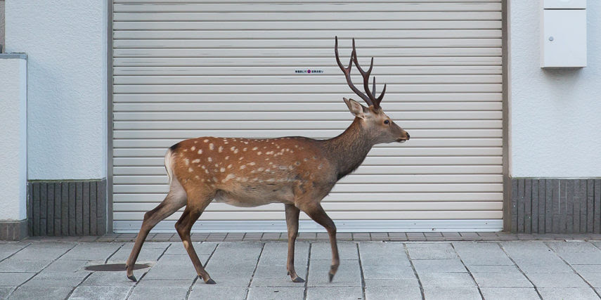 The Wild Deer That Roam a Japanese City's Streets