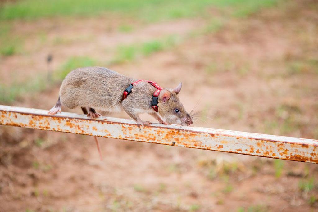 Ratazanas estão salvando um monte de vidas da maneira mais surpreendente 09