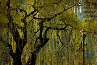 Urban Willow