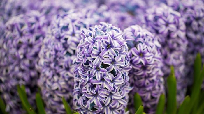 Chelsea, flores