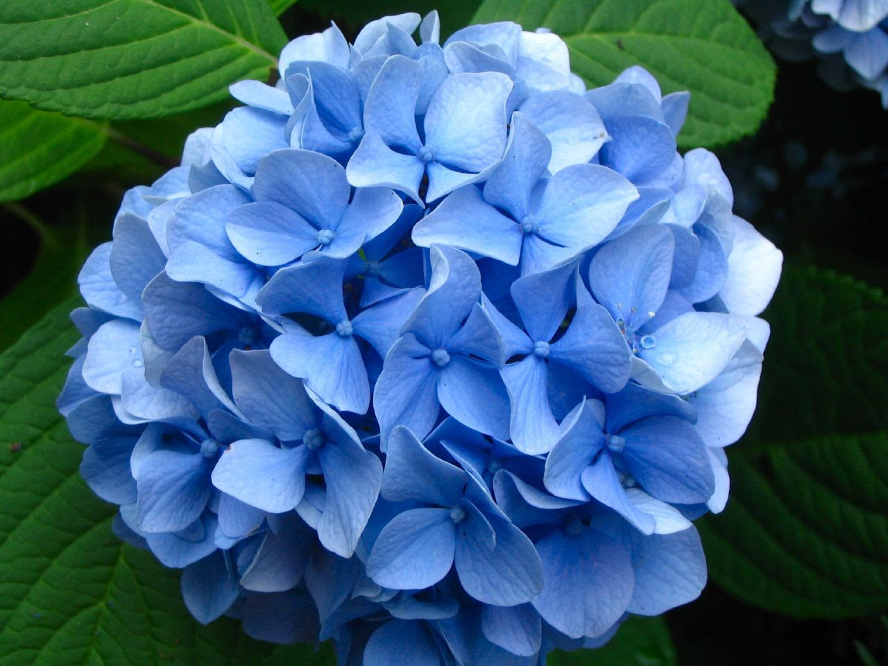 Image result for hydrangea
