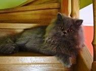 Kot Perski Cena Bez Rodowodu