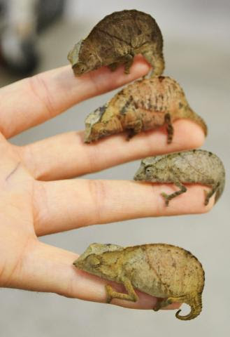 Assorted Pygmy Chameleons