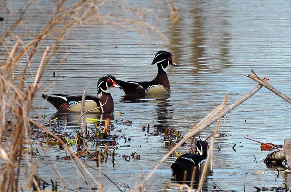 Wood ducks links