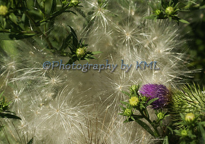 purple thistle wildflower with fluffy seeds