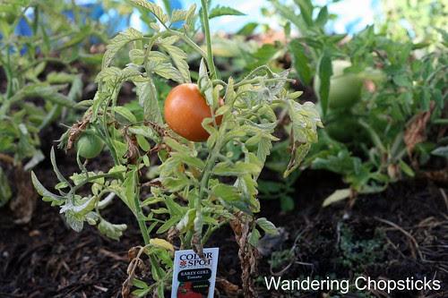 6.24 Early Girl Beats Better Boy Tomatoes 2