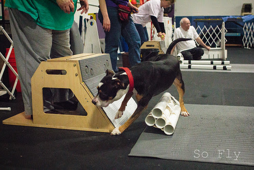 Flyball Practice April 2013-1530