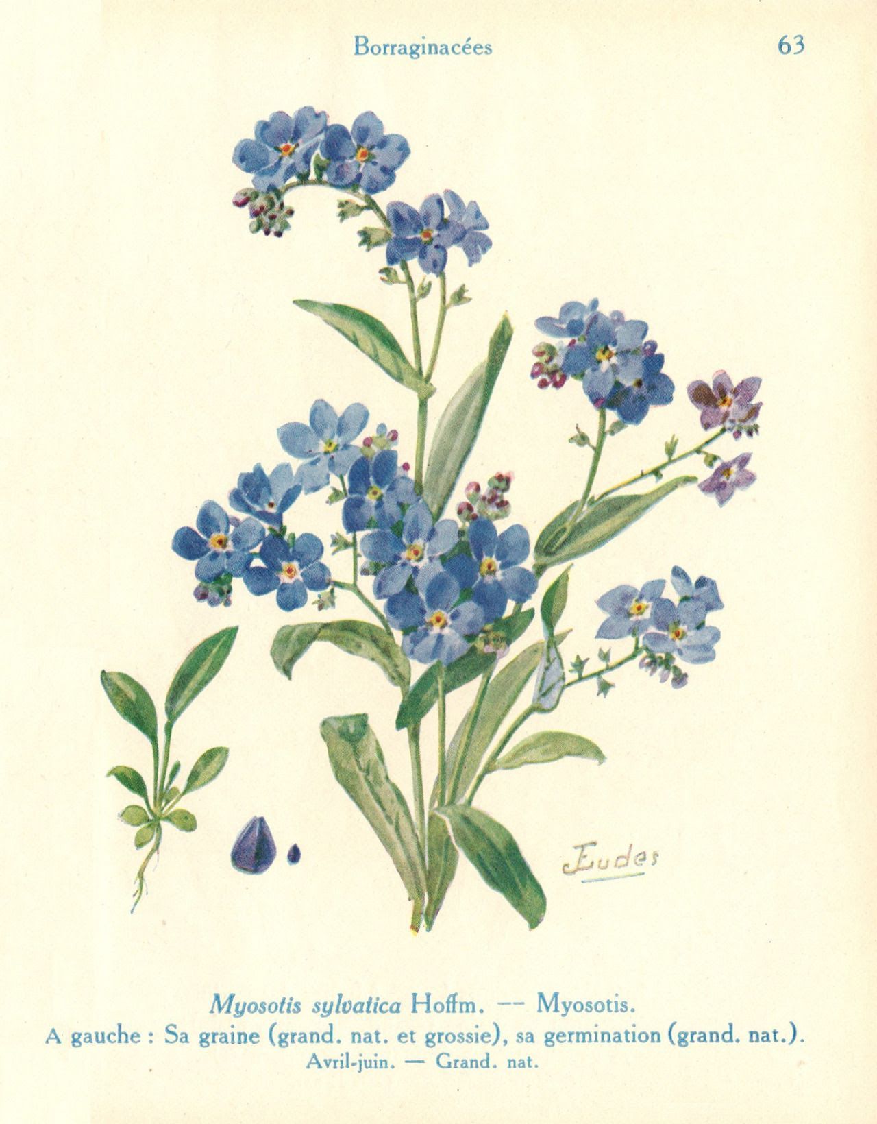 Forget Me Not Flower Drawing At Getdrawingscom Free For Personal