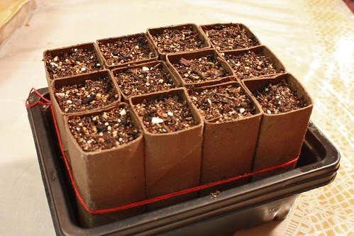 Sown Corn Seeds (in Toilet Paper Roll Pots)