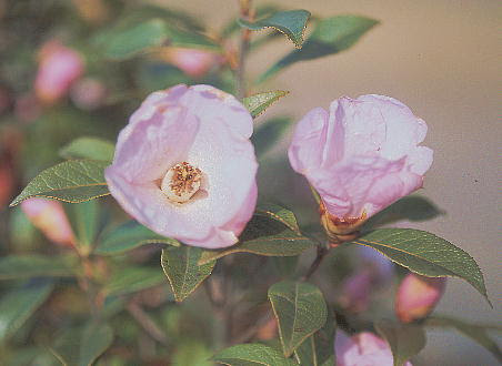 http://www.alpine-plants-jp.com/img_b/camellia_saluenensis_cultivated_in_tukuba_city_20040321_2.jpg