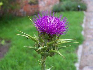 en: Milk thistle flowerhead. pl: Ostropest pla...