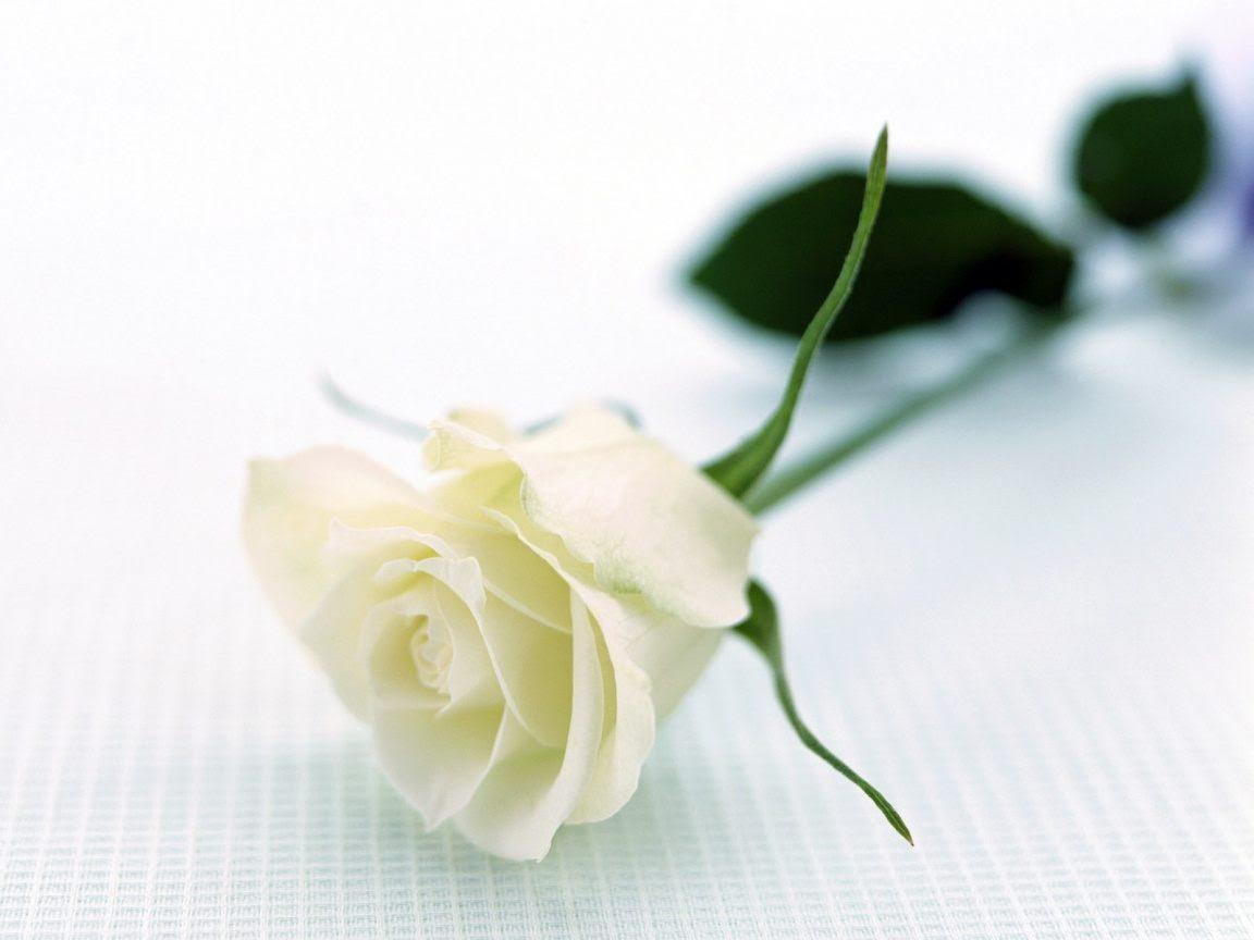 Rosa Blanca Artística Imágenes Y Fotos