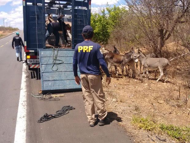 Operação recolhe animais das rodovias de Petrolina, PE (Foto: Divulgação / Polícia Rodoviária Federal)