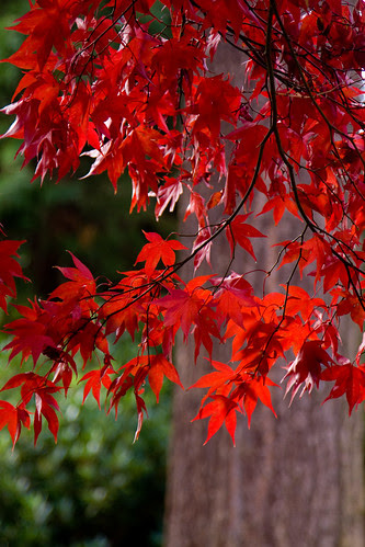Beautiful acer