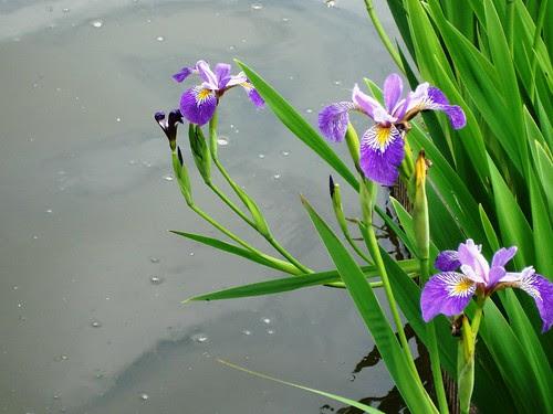 Iris by italiaan1