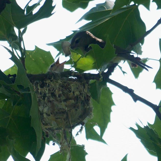 Ed Gaillard: birds &emdash; Warbling Vireo feeding nestling