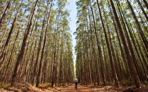 Resultado de imagem para BE quer suspensão de programa de 9 milhões de plantação de eucaliptos