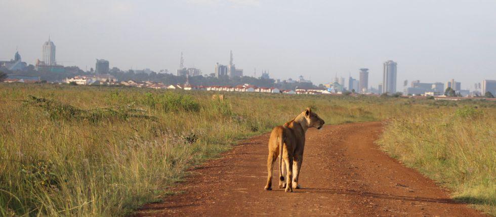Una leona avanza por un sendero del parque.