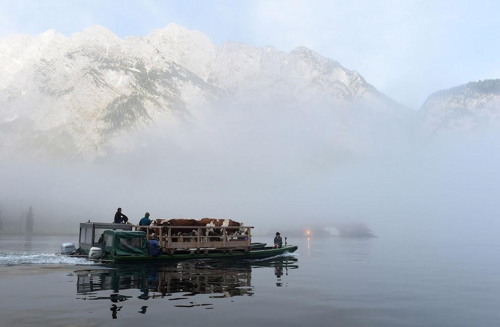Фермеры и их скот возвращаются с горных пастбищ, Альпы