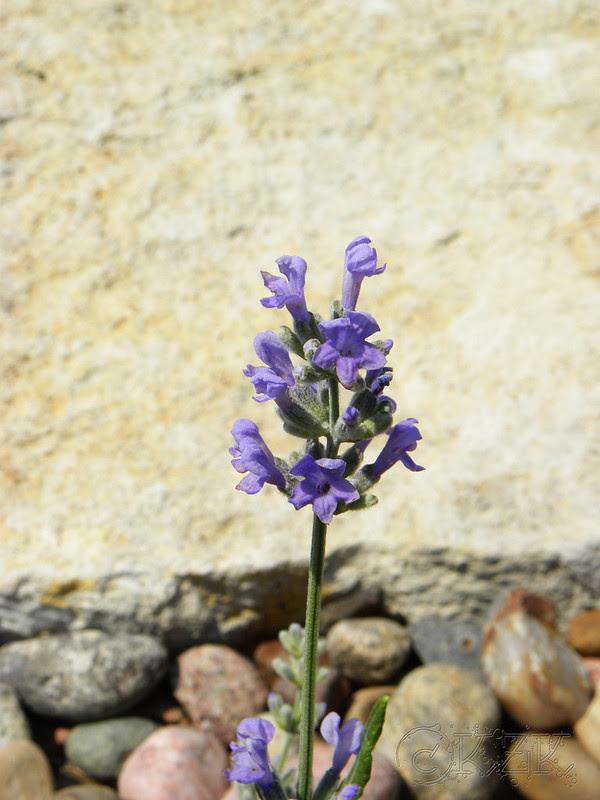 DSCN4009 Lavender!