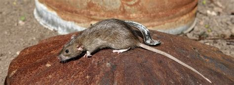 How to Deter Rats   Ehrlich Pest Control