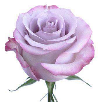 Best 25  Lavender roses ideas on Pinterest   Purple roses