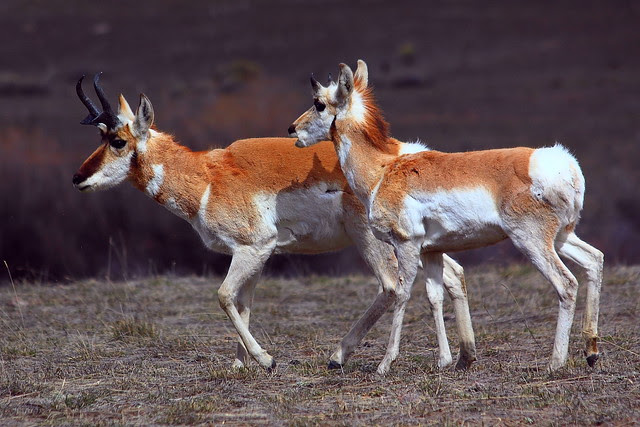 IMG_8342 Pronghorn, Gallatin National Forest