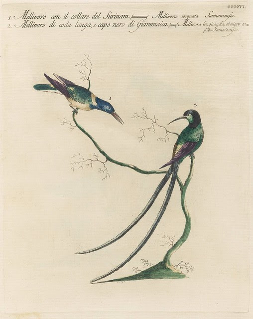 Two species of hummingbird in a tree, one with a long tail (18th c engraving)