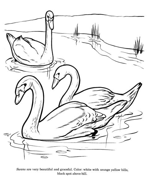 animal drawings coloring pages swan bird identification