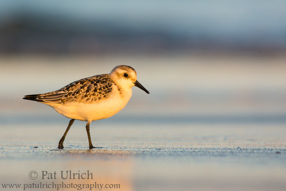 Photograph of a sanderling on the beach at sunset