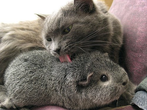 Friendship animals.  Cat Licking guinea pig