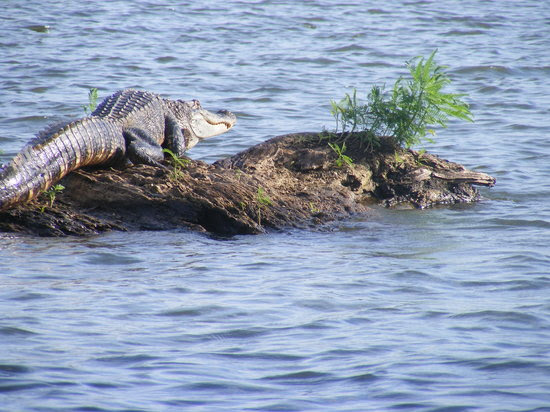 Louisiana: This is one of many gators we saw !!!  Awesome !!!