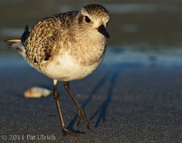 Plover with its shadow - Pat Ulrich Wildlife Photography