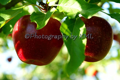 two red delicious apples hanging from a tree