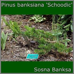 Pinus banksiana 'Schoodic' - Sosna Banksa