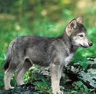 wolf10