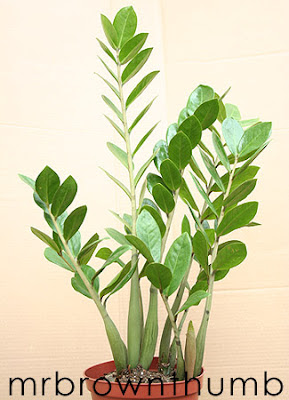 ZZ plant, Low Light Houseplant