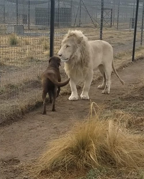 El inesperado encuentro entre un enorme león y un pequeño perrito causa furor en las redes