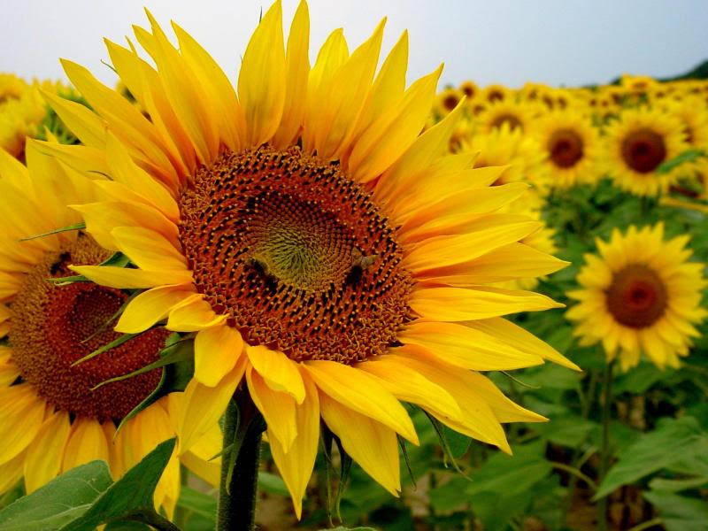 http://www.yvl.be/images/sunflower%201.jpg