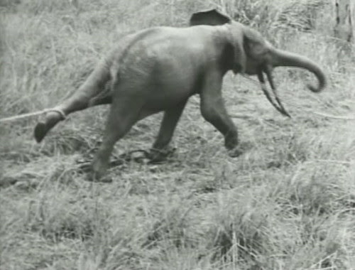Elephant%20Capture-12 by bucklesw1