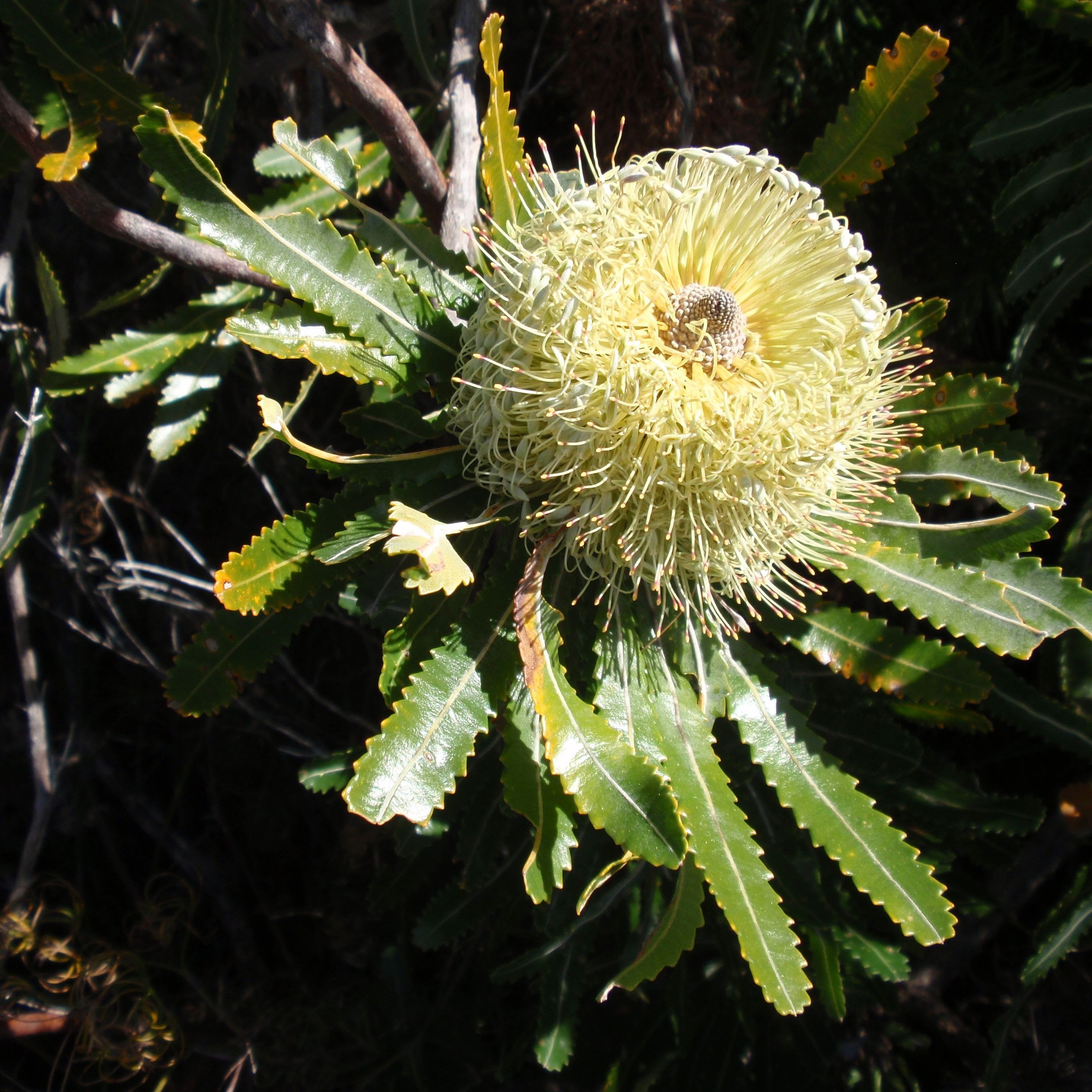 Lennox Head heath - yellow banksia