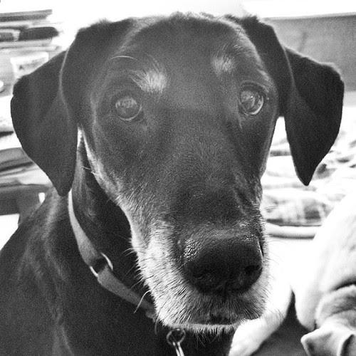 Lola says Good Morning! #dogstagram #dobermanmix #rescue #adoptdontshop