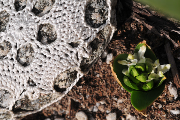 shy hyacinth peekaboo